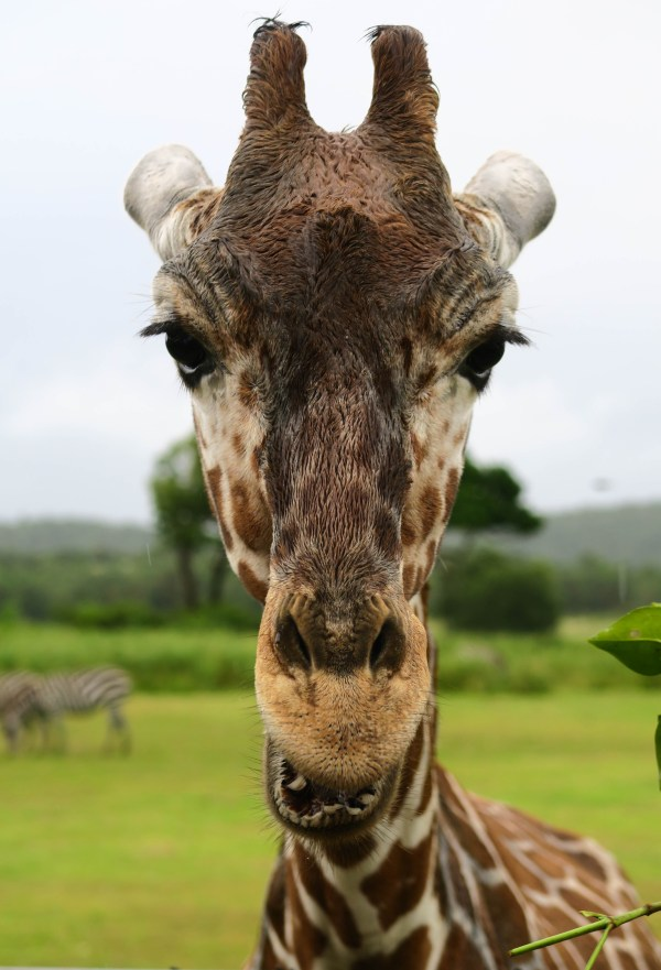 3 Year Old Giraffe at Calauit Safari Park
