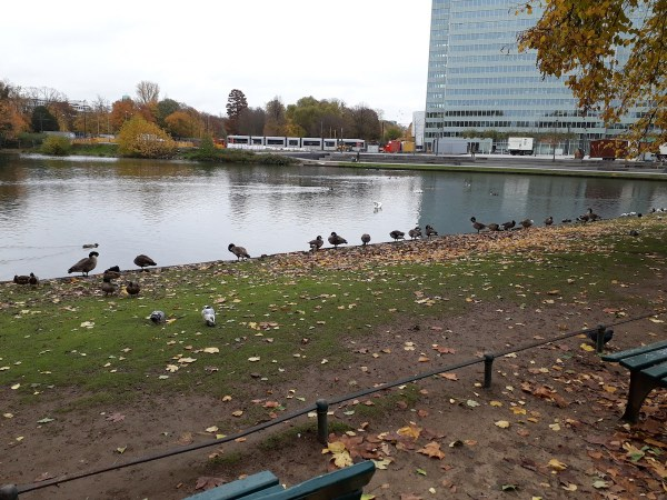Some of my fine feathered friends near Königsallee