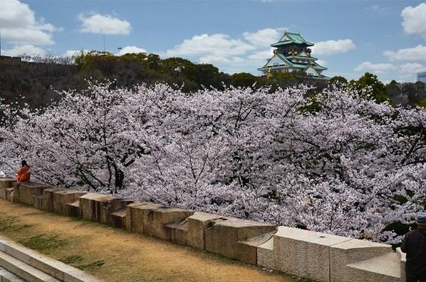 Cherry Blossoms in Osaka Castle