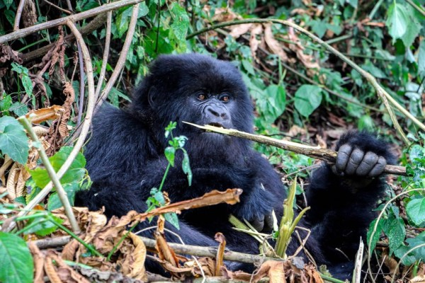 Gorilla eating Bamboo in Rwanda