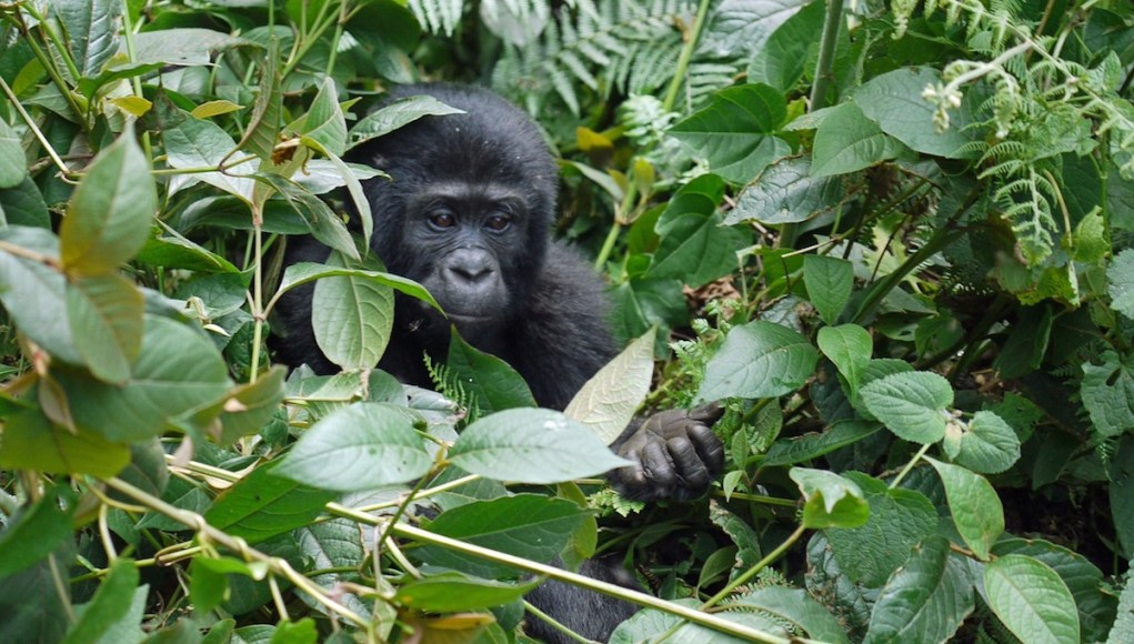 Mountain Gorilla in Africa