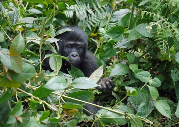 Mountain Gorilla in Africa