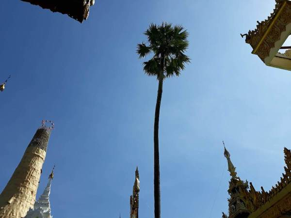 This tree in Shwedagon Pagoda is still standing after many centuries.