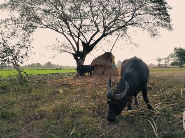 Water Buffalos located few meters from our landing area