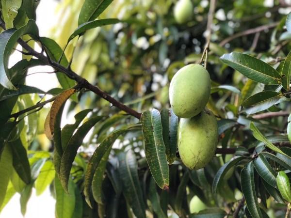 Solina Mango Farm