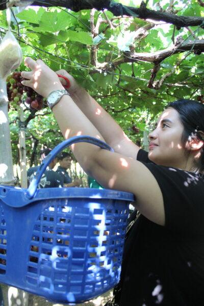 Grape Picking at the Manguerra Farm.
