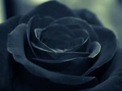 Black Roses in Halfeti, Turkey