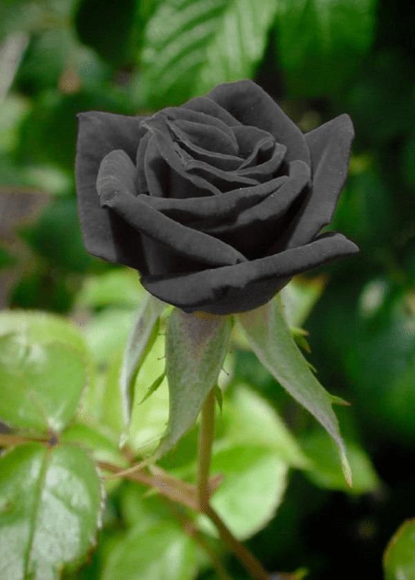 Rare Black Rose in Turkey