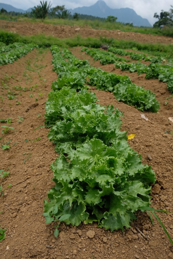 Organic Vegetables at Villa Conzoilo Farm