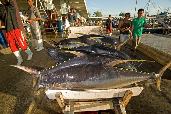 Fresh Tuna at the General Santos Fishport Complex photo by Andy Maluche via Flickr CC