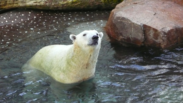 Polar Bear at Osaka Aquarium KAIYUKAN