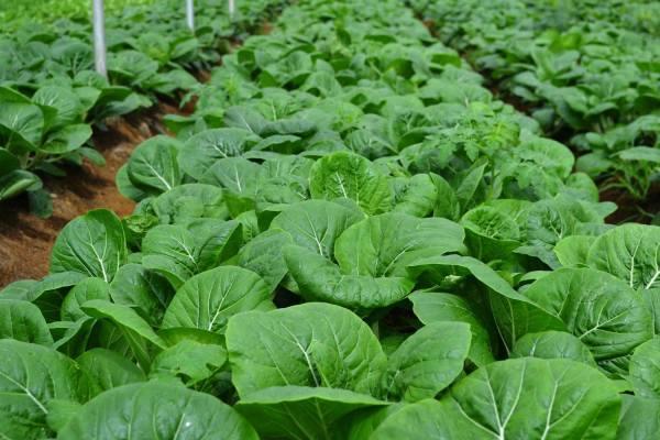 Organic Farming at Costales Nature Farm