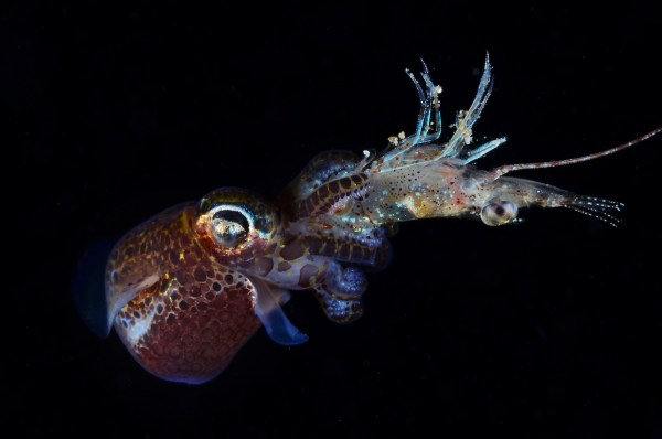 No escape. A bobtail squid captures the shrimp with its tentacles in this photo by DOT Photographer of the Year Dennis Corpuz, 1st Place, Open Class Marine Behavior