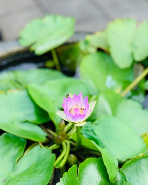 Lotus Flower at Pawon Temple