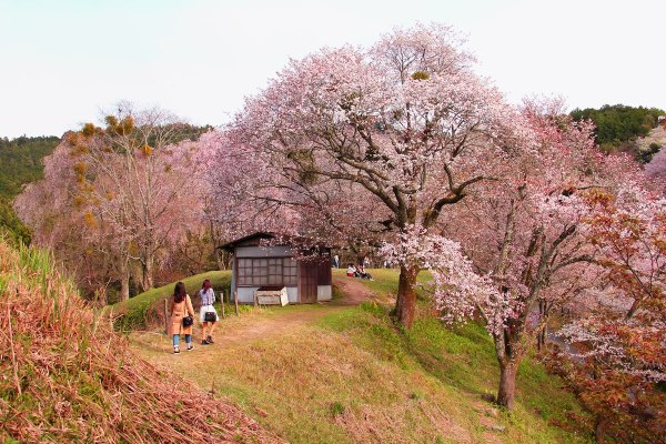 Mt Yoshino Cherry Blossoms in Nara Japan by Adriana Prudencio via unsplash
