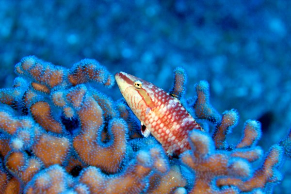 Solitary oriental wrasse (Oxycheilinusrhodochrous) isknown to inhabit coral reefs with abundant invertebrates, which they feed on. © OCEANA/UPLB