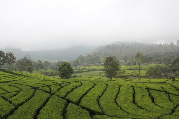 Tea Plantation in Bandung - How to get to Bandung from Jakarta, Indonesia