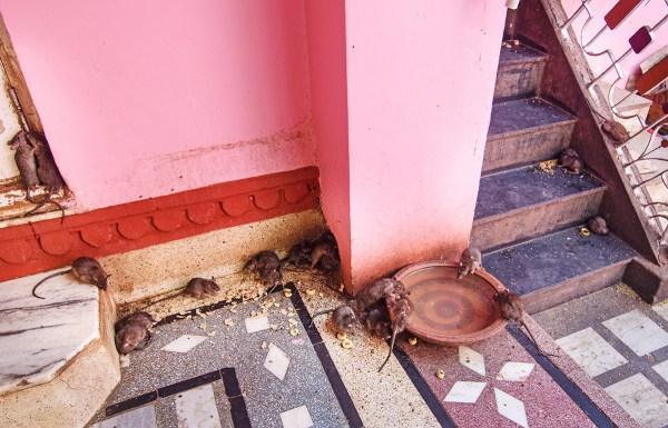 The holy rats of Karni Mata temple
