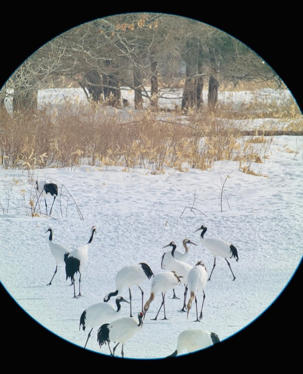 Red-crowned cranes from the Binocular