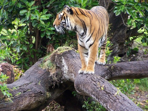 Tiger Kingdom Best Things to do in Chiang Mai Thailand