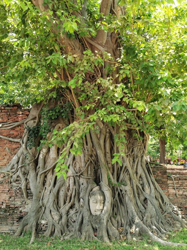 Buddha Head in Tree Roots, Wat Mahathat, Ayutthaya