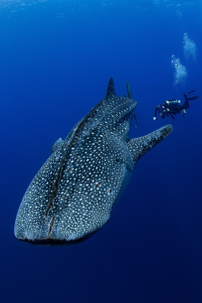 Whaleshark and Diver photo by Jerome Kim