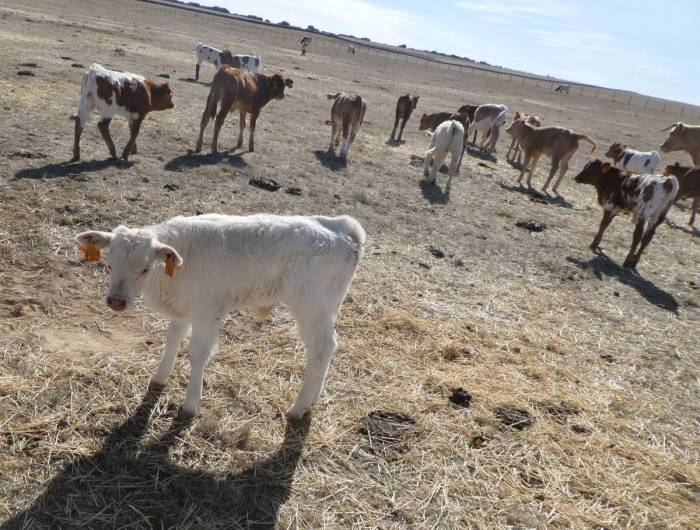 a rare young white calf with its older cousins