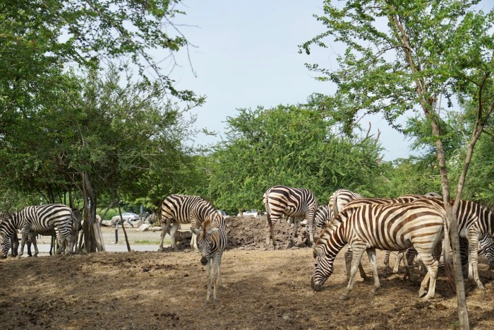 Zebras at Safari World Bangkok