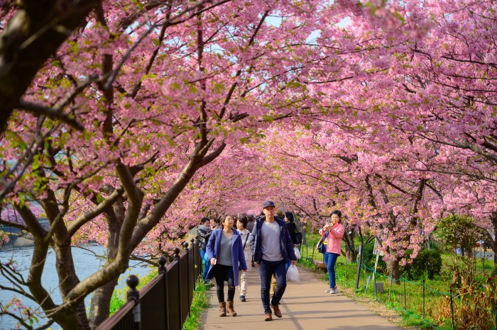 Beautiful Kawazu Sakura Festival , Cherry blossom full bloom in Kawazu prefecture ,Japan.