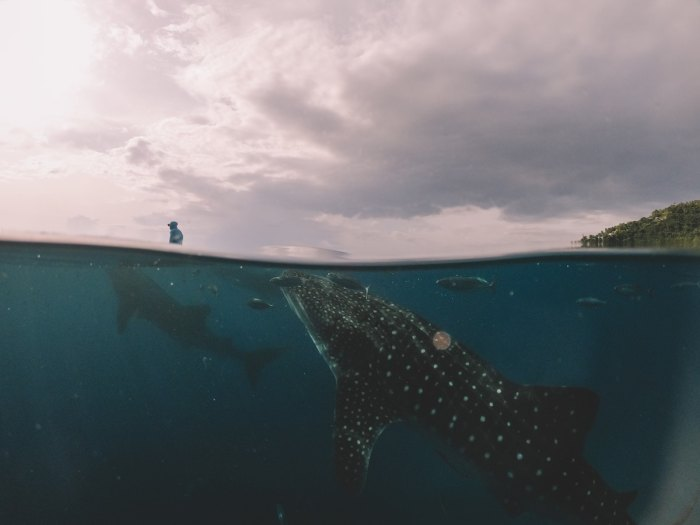 Whale Shark in Oslob Cebu Philippines photos by @cameronjohnvisuals via Unsplash