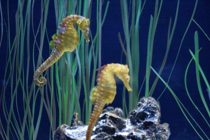 Hippocampus at the Aquarium of Quebec
