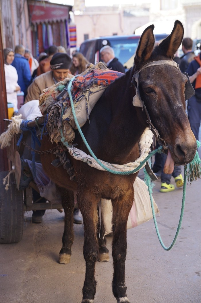A donkey is used to carry things around the city of Casablanca, Morocco