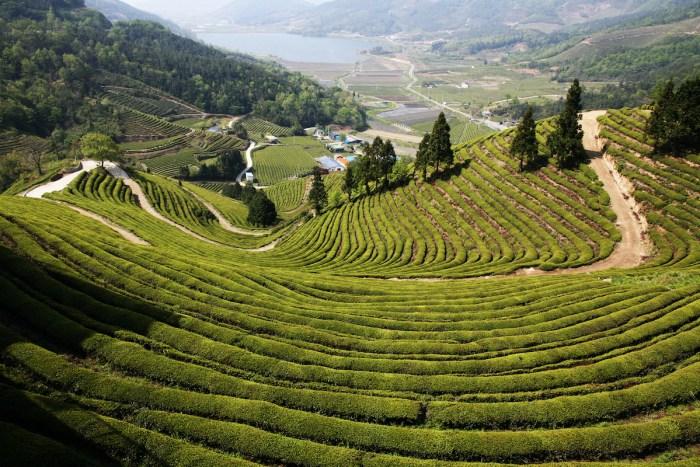 Boseong Green Tea Field photo via Depositphotos