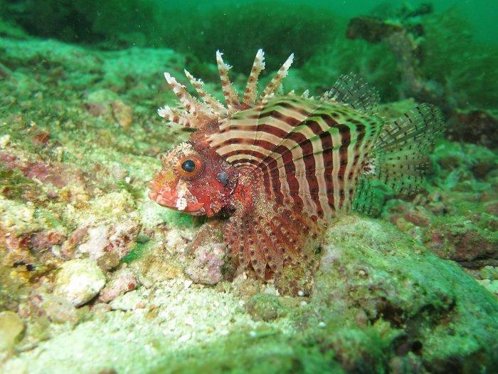 Red Lionfish - Scuba Diving Destinations Malapascua