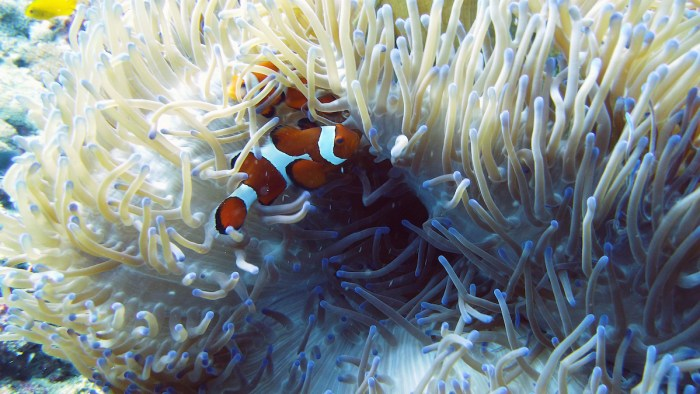 Sea anemone and clown fish in Southern Leyte photo via Deposit Photos