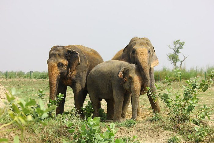 Home.fit Rescued-elephants-at-the-Elephant-Conservation-and-Care-Center-by-Rhealopez168-via-Wikipedia-CC Agra Bucket List: Top 15 Best Things to Do in Agra, India