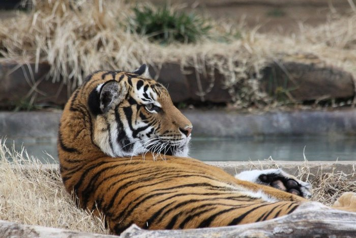Tiger at Tulsa Zoo
