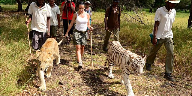 Mauritius Safari Adventure: Walking with Lions