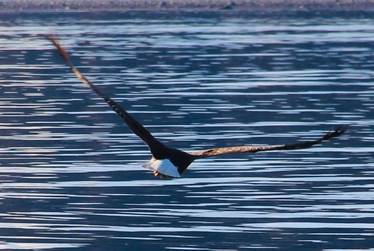 Bald eagle flies along the water