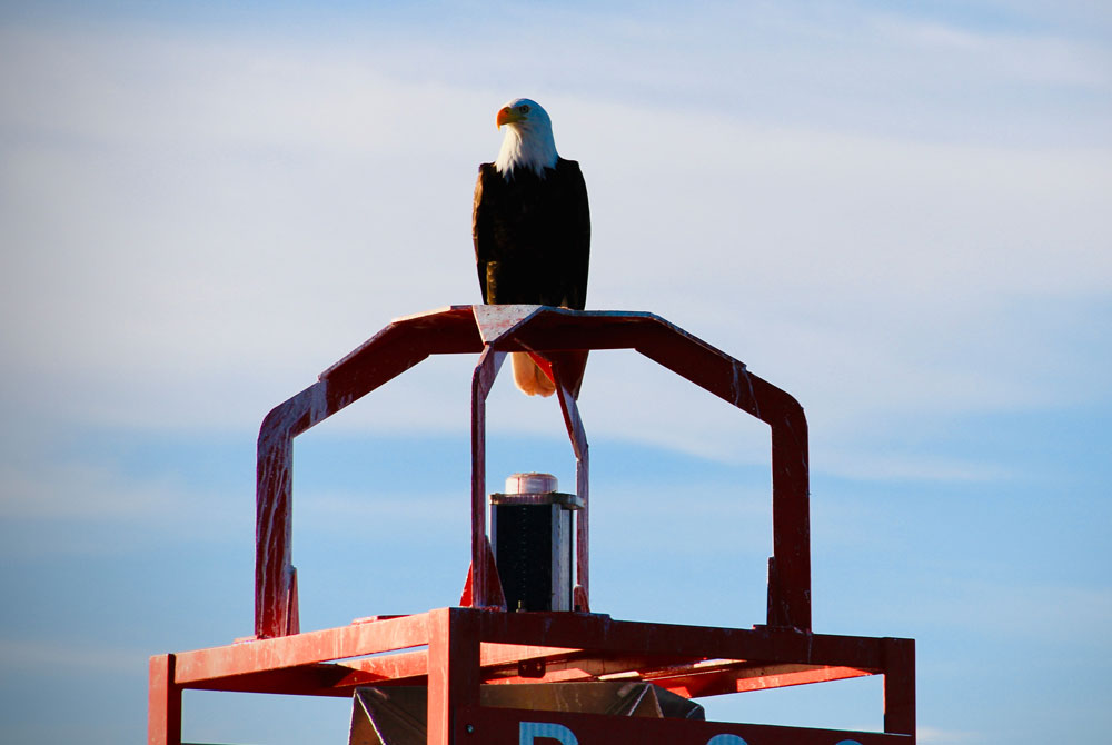Bald eagle perched atop red buoy, Campbell River BC