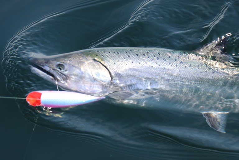 chinook salmon with lure in mouth
