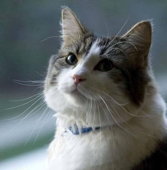 'แมว ยมทูต ' ผู้หยั่งรู้ความตายล่วงหน้า 😺😸😈😱⚰️