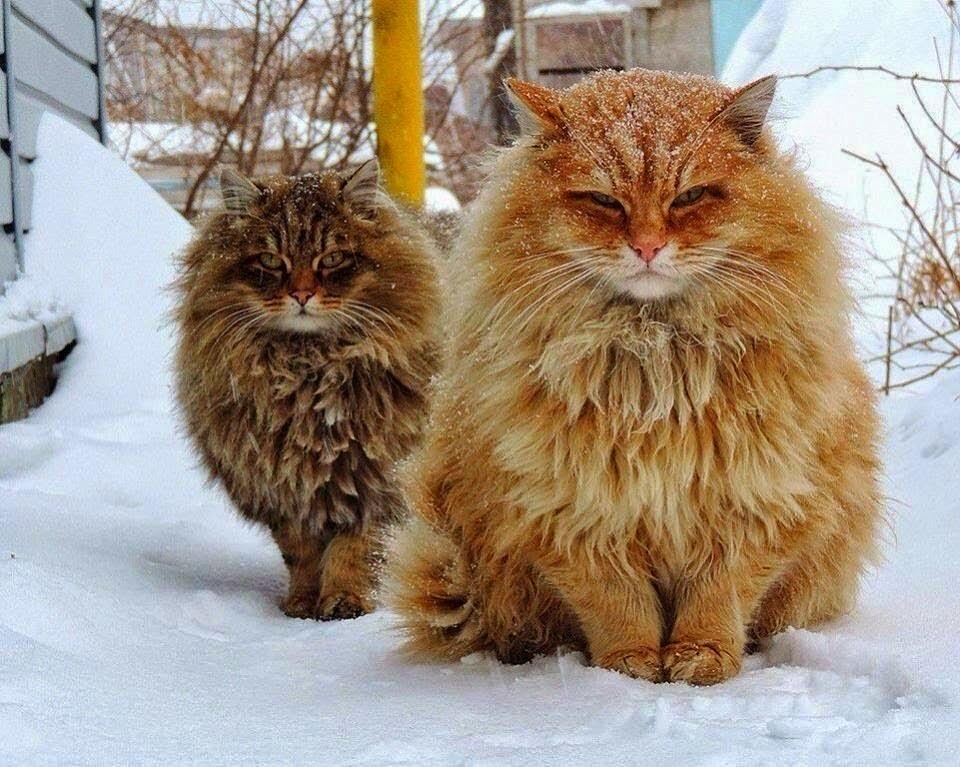 แมว นอร์วีเจียน ฟอเรสต์ – สัตว์เลี้ยงแห่งชาวไวกิ้ง 🐱🐈🌨❄️🗡🛡🇳🇴