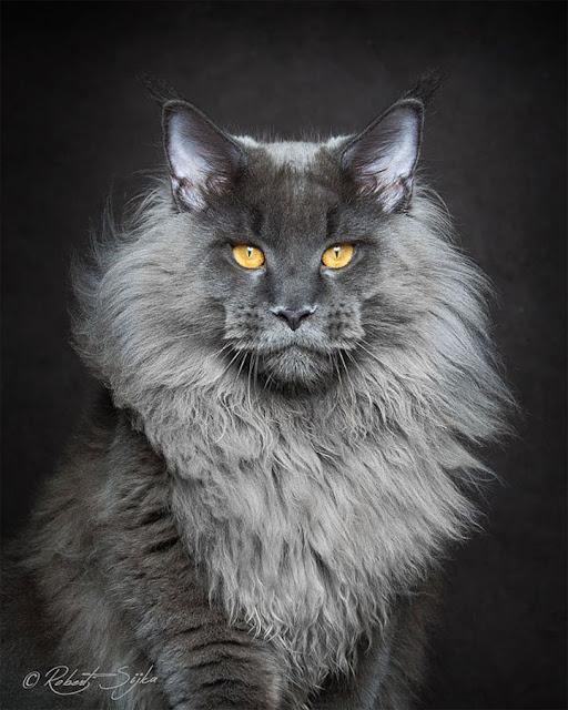 """รวมภาพแมว """" เมน คูน """" ซึ่งดูเหมือนสัตว์จากโลกแฟนตาซี 🐱🐈🧝🏼🧙🏻♂️💫"""