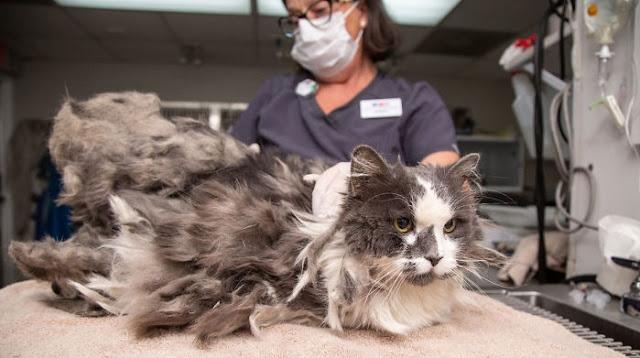 """กลุ่มพิทักษ์สัตว์ได้ช่วยชีวิตแมวที่ขน """" ติดกัน """" เป็นก้อนใหญ่ยุ่งเหยิงมาก 🐱🐈😥😨😱👍🏻✌🏻👌🏻"""