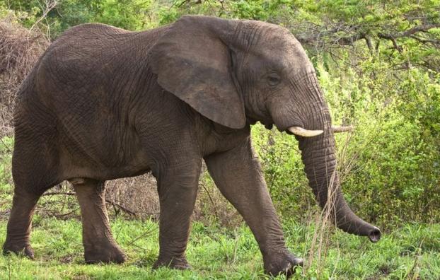 """ฟ้าดินลงโทษ เมื่อนักล่าสัตว์ชื่อดัง """" ยิงช้าง """" แต่ถูกช้าง """" ทับตาย """" ซะเอง 🐘🔫💥👨🏻☠️⚰️"""