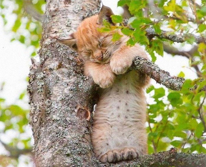 """30 ภาพตลกๆน่ารักๆของ """" แมวนอน """" แบบ """" เหลือเชื่อ """" บนต้นไม้อย่างที่ไม่เคยเห็นที่ไหน มาก่อน🐱🐈😴😪🌳🌲"""