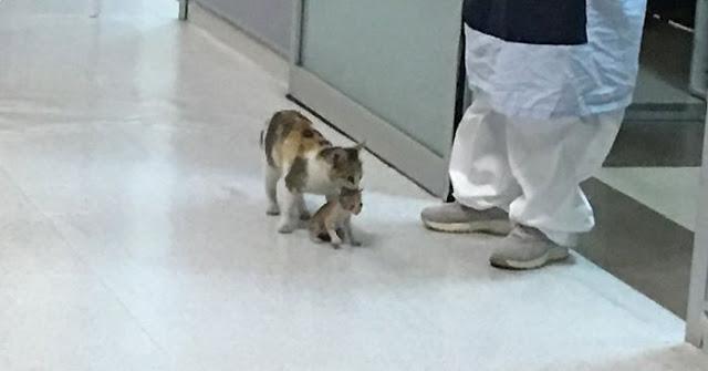 """คุณแม่แมวจรจัดตัวหนึ่ง """" คาบลูกแมว """" ที่เจ็บป่วยไป """" หาหมอ """" ถึง """" ห้องฉุกเฉิน """" ใน โรงพยาบาล 🐱🐈👶🏻🏥🩺💊🤲🏻"""