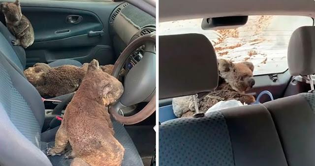 """วัยรุ่นออสเตรเลียขับรถตระเวนช่วยเหลือ """" หมีโคอาล่า """" ทุกตัวที่พบเจอช่วงไฟป่าครั้งใหญ่ 🐨🤲🏻♥️🔥🌲🇦🇺"""
