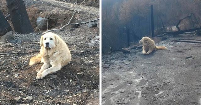 สุนัขซื่อสัตย์ที่รอคอยเจ้าของที่บ้านที่โดน ไฟป่า เผาวอดไปแล้วเกือบเดือน 🐶🐕🔥🏚🤝🤲🏻♥️